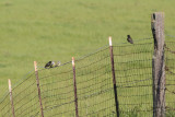 European Starling (and Western Kingbird) - KY2A3513.jpg