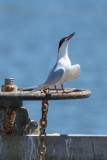 Forster's Tern - KY2A3034.jpg