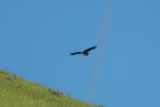 Golden Eagle - KY2A3475.jpg
