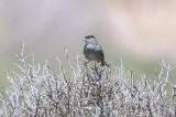Golden-crowned Sparrow - KY2A2794.jpg