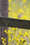 Grasshopper Sparrow - KY2A3308.jpg
