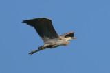 Great Blue Heron - KY2A3491.jpg