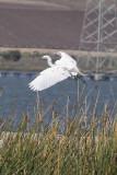 Great Egret - KY2A3191.jpg
