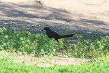 Great-tailed Grackle - KY2A3226.jpg
