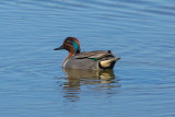 Green-winged Teal - KY2A2434.jpg
