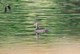 Hooded Merganser - KY2A2124.jpg