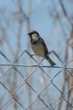House Sparrow - KY2A3092.jpg
