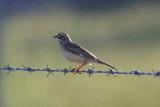 Lark Sparrow - KY2A3541.jpg
