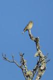 Lesser Goldfinch - KY2A1906.jpg
