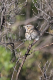 Lincoln's Sparrow - KY2A1804.jpg