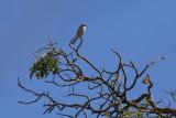 Loggerhead Shrike - KY2A3215.jpg