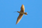 Long-billed Curlew - KY2A2641.jpg