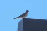 Mourning Dove - KY2A3079.jpg