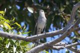 Northern Mockingbird - KY2A2560.jpg