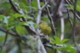 Orange-crowned Warbler - KY2A1620.jpg