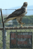 Red-tailed Hawk - KY2A3198.jpg