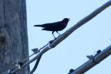 Red-winged Blackbird - KY2A3101.jpg