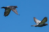 Rock Pigeon - KY2A2373.jpg
