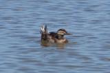 Ruddy Duck - KY2A2468.jpg