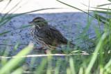 Savannah Sparrow - KY2A2979.jpg