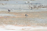 Semipalmated Plover - KY2A2819.jpg