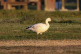 Snow Goose - KY2A3620.jpg