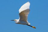Snowy Egret - KY2A3173.jpg