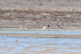 Snowy Plover (flying, center), also Dunlin (feeding to the right) - KY2A3104.jpg