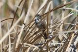 Song Sparrow - KY2A2754.jpg