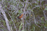 Spotted Towhee - KY2A1690.jpg