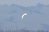 Thayer's Gull - KY2A3183.jpg