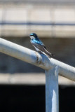 Tree Swallow - KY2A2940.jpg