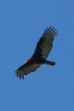 Turkey Vulture - KY2A1973.jpg
