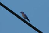 Western Bluebird - KY2A3410.jpg