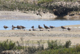 Whimbrel (in middle) - KY2A2334.jpg
