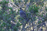 White-crowned Sparrow - KY2A1826.jpg