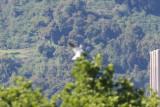 White-tailed Kite - KY2A2117.jpg