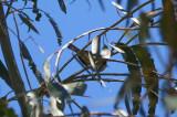 Yellow-rumped Warbler - KY2A2672.jpg
