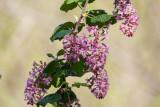 Flowering Currant (Ribes sanguineum)