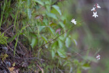 Woodland Star (Lithophragma sp.)