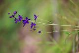Purple Larkspur (Delphinium sp.)
