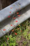 Red Larkspur (Delphinium nudicaule)