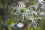 Clematis going to seed