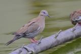 Peruvian Dove
