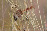 Rusty-fronted Canastero
