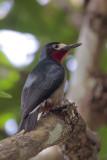 Puerto Rican Woodpecker