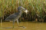 Yellow-crowned Night-Heron (The catch)