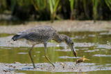 Yellow-crowned Night-Heron (Ripping off the limbs)