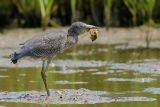 Yellow-crowned Night-Heron (Crushing the body)
