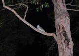 Owl at Kurrajong.jpg